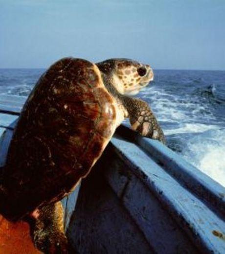 cette-tortue-souhaite-se-jeter-a-l-eau-pour-retrouver-sa-liberte-esperons-seulement-qu-il-ne-s-agisse-pas-d-une-tortue-de-terre_124515_w460