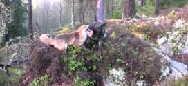 Vidéo : un chien et un renard meilleurs amis