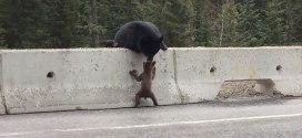 Vidéo : Maman ours sauve son bébé sur le bord d'une autoroute canadienne