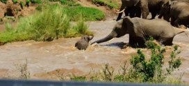 Vidéo : un troupeau d'éléphants sauve un bébé de la noyade