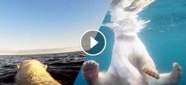 Vidéo : suivez ces ours polaires en quête de nourriture