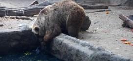Vidéo : un ours sauve un oiseau de la noyade