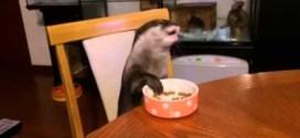 Vidéo. Une loutre qui mange à table!