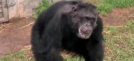Des chimpanzés de laboratoire libérés voient le jour pour la première fois