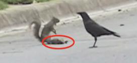 Vidéo : un écureuil défend le cadavre d'un congénère contre des corneilles
