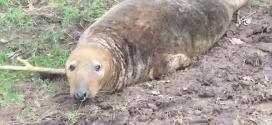 Un phoque récupéré dans un champ à 30 km de la mer