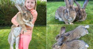 Le plus gros lapin du monde bientôt détrôné par son fils