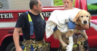Un chien guide d'aveugle se jette devant un bus pour sauver sa maitresse