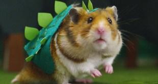 Vidéo. Ce petit hamster se transforme en monstre géant