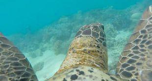 Vidéo. La Grande Barrière de corail vue par une tortue