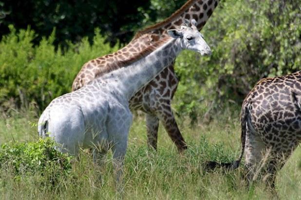 omo-girafe-blanche-2