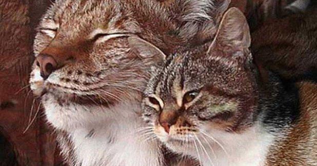 cat-and-lynx-friends-4-622x326-622x326