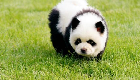chien-panda