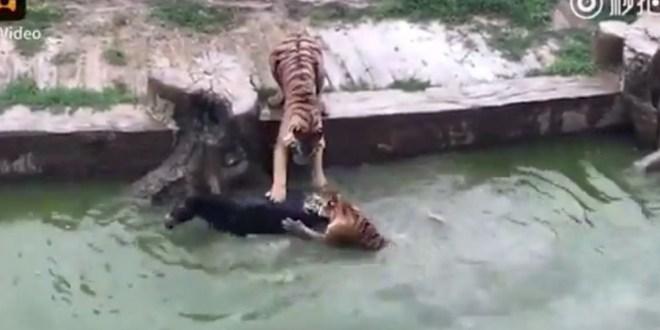 Vidéo. Un âne jeté aux tigres dans un zoo «car il ne rapportait pas assez»