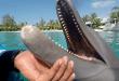 Des dauphins retrouvés avec les dents limées pour protéger les touristes