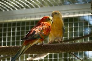 perruche à croupion rouge