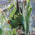 perruche latham swif parrot