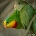 perruche barraband elevage superb parrot