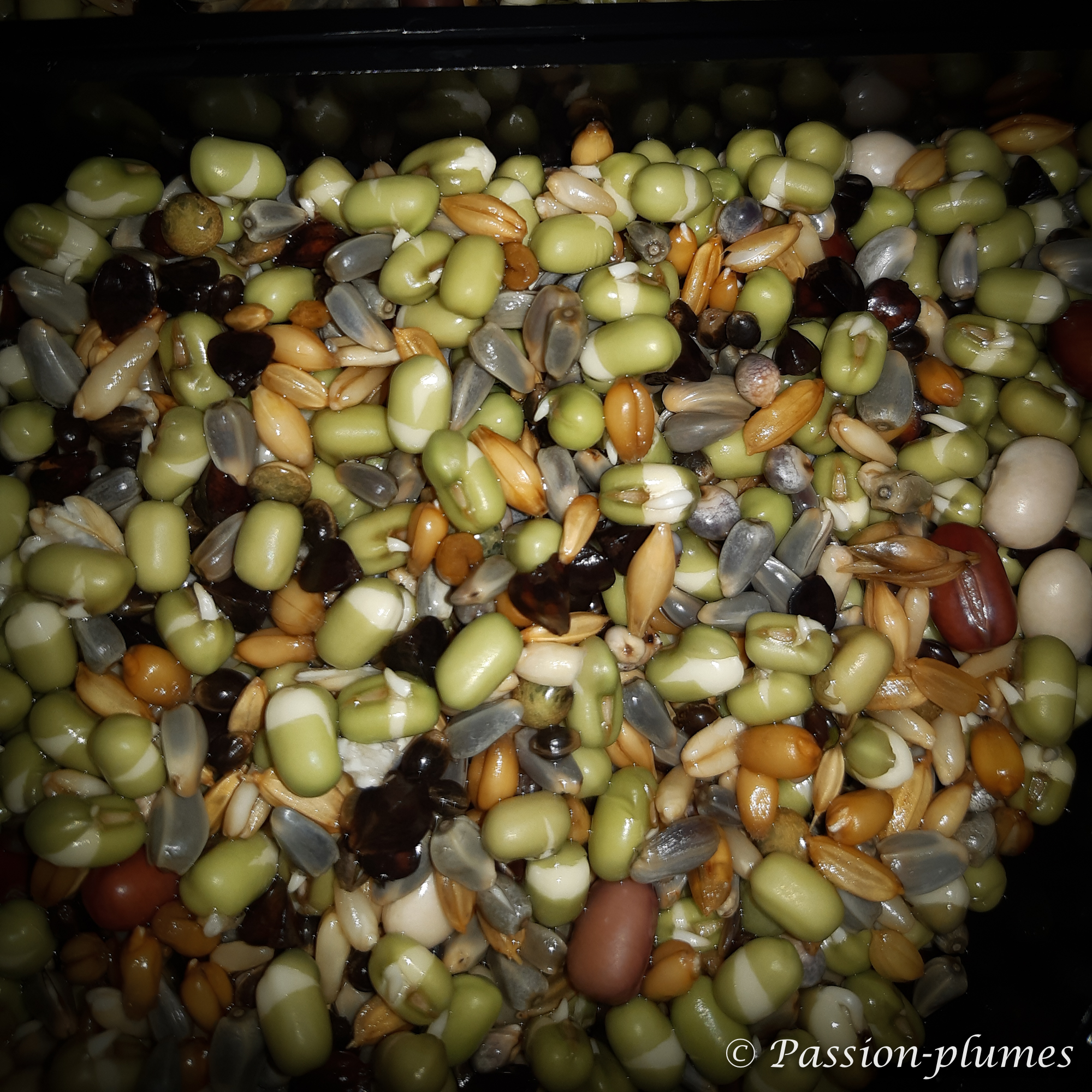 graines germées perruches