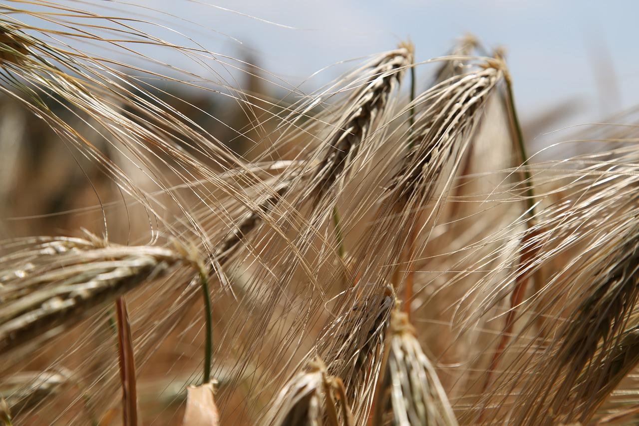 wheat-809441_1280
