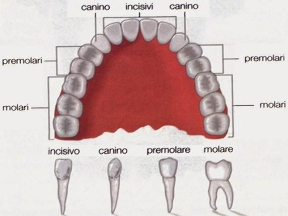forma dente