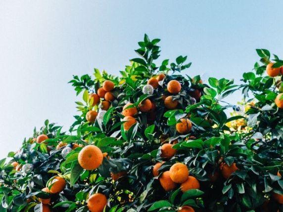 clementine in gravidanza