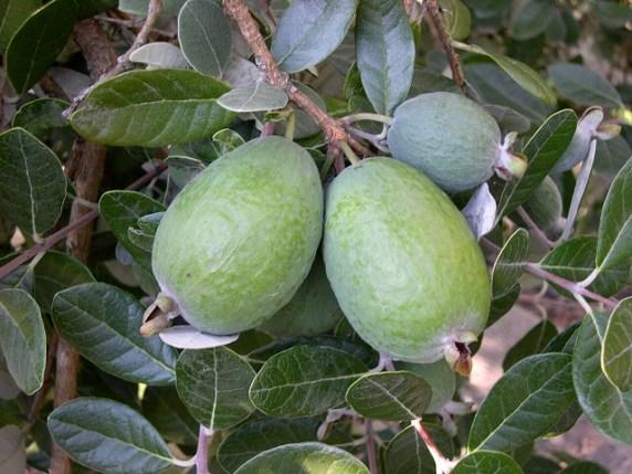 feijoa frutto