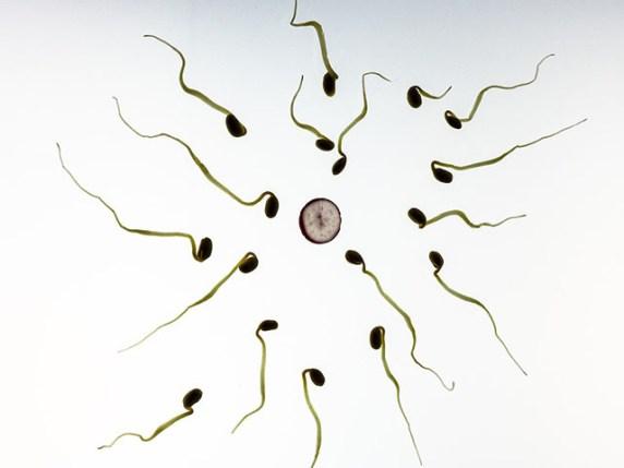 foto_spermatozoi_cercano_di_penetrare_ovulo