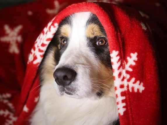 foto cane con coperta