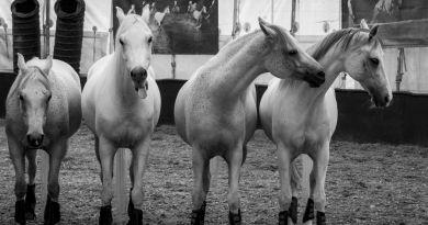Les chevaux vedettes d'Odysséo de Cavalia sont arrivés à Montréal!