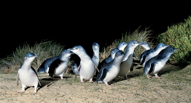 A Wet and Wild Encounter with Penguins on Phillip Island, Australia