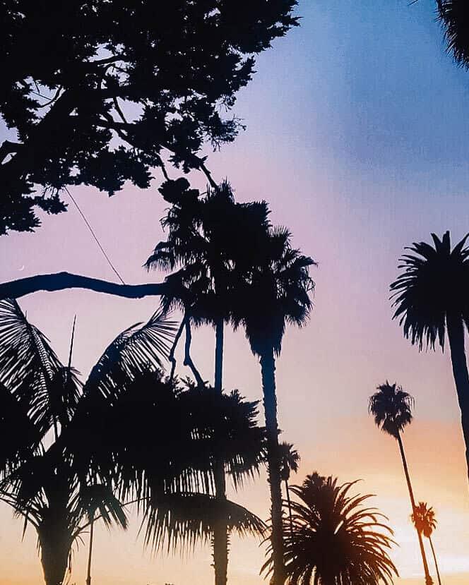 Santa Barbara palm trees