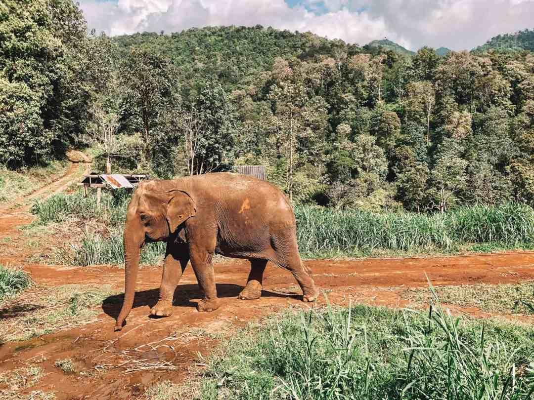 Elephant - Chiang Mai