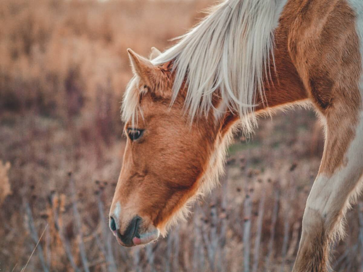 photo of the head of a Chincoteague Pony on Assateague Island