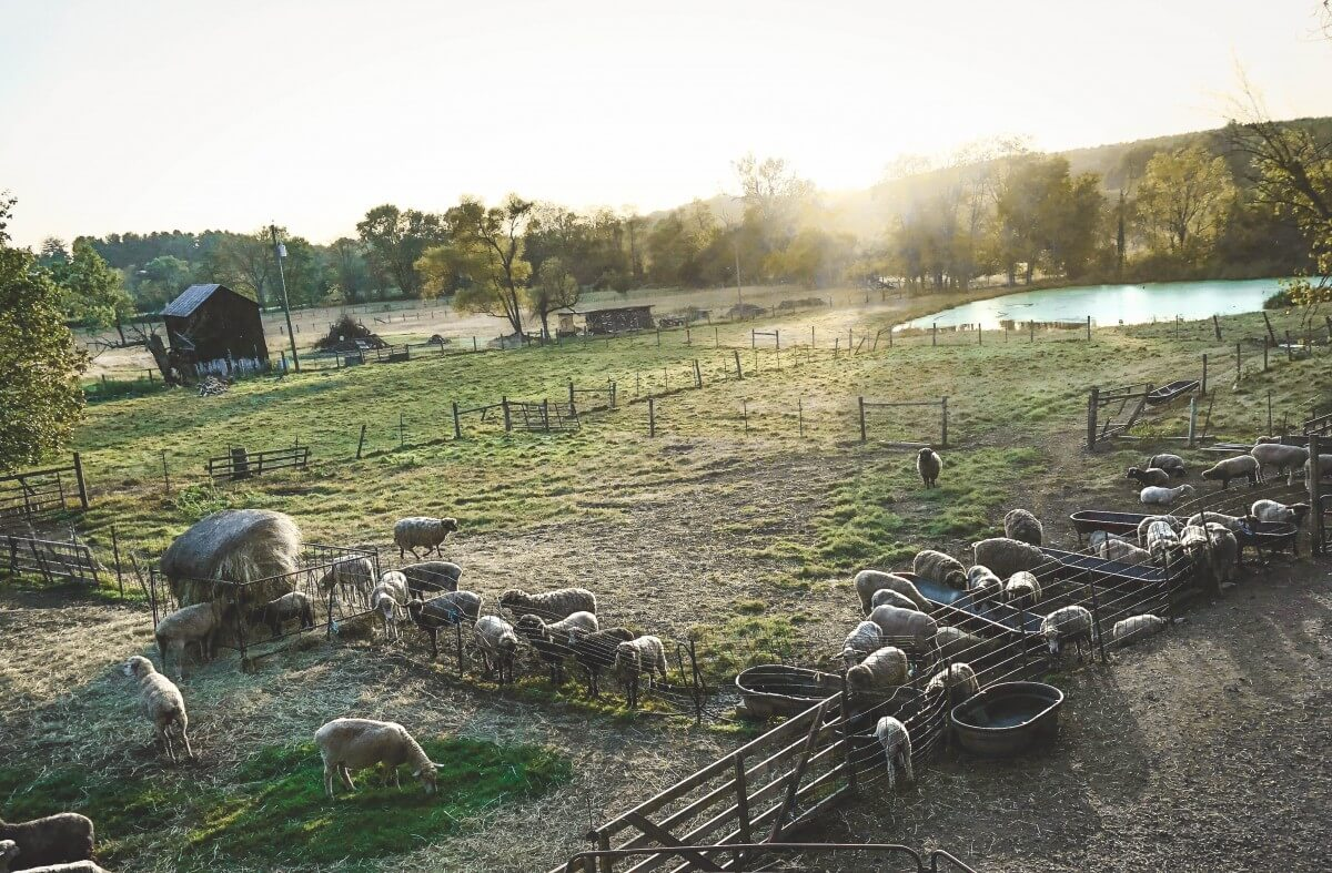 picture of sheep grazing in a pasture in Waterford, one of the most bucolic small towns in Virginia