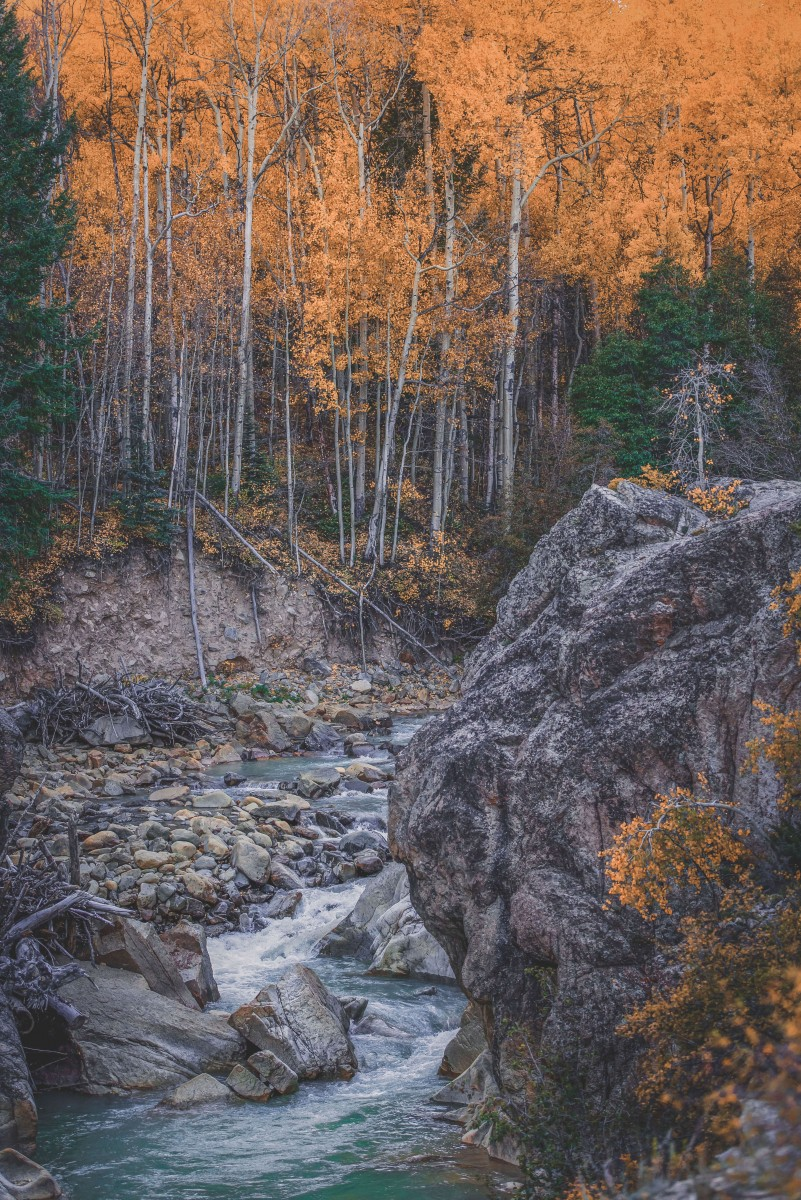 golden yellow fall woods in Aspen by the banks of a river