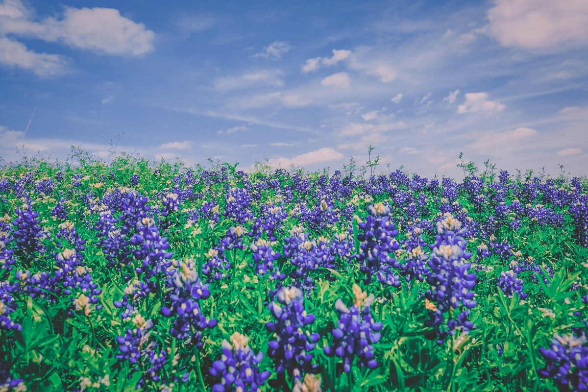 bluebonnets in Austin in spring