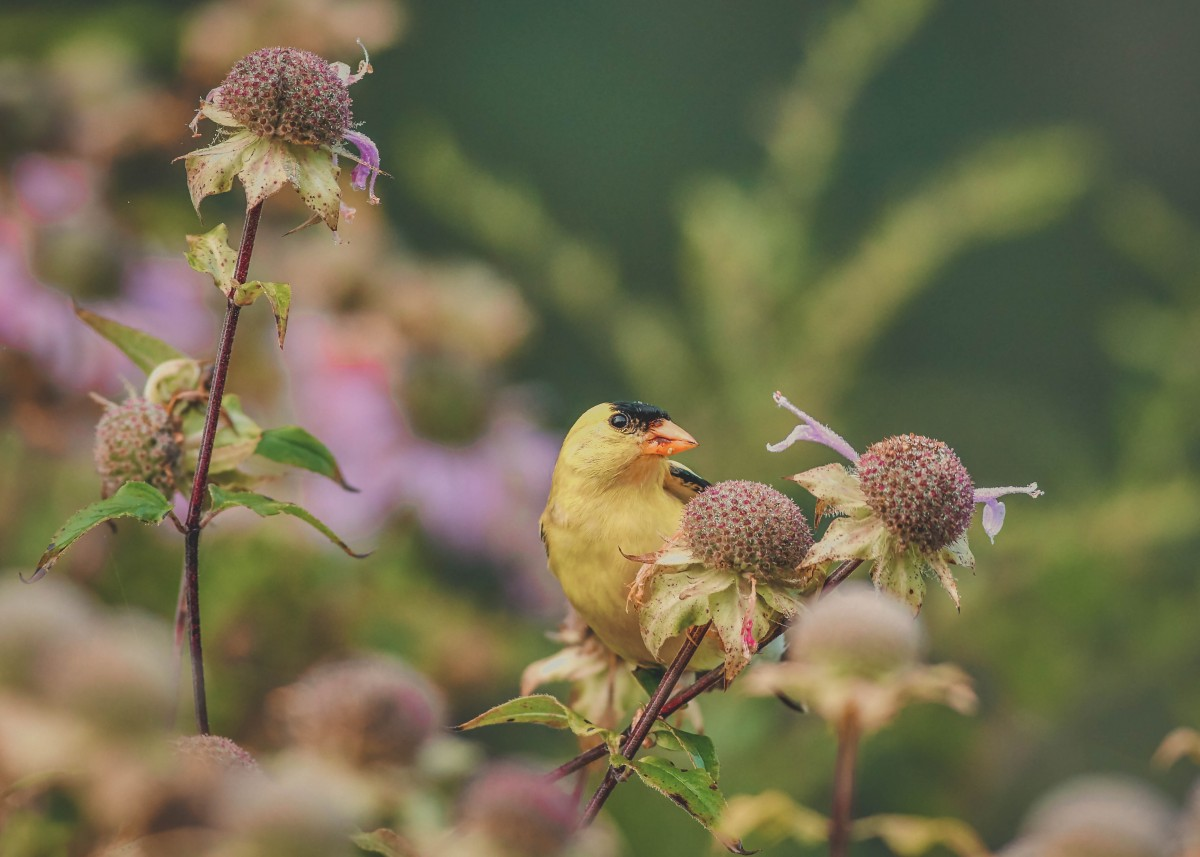 A goldfinch to represent Donna Tartt's book The Goldfinch