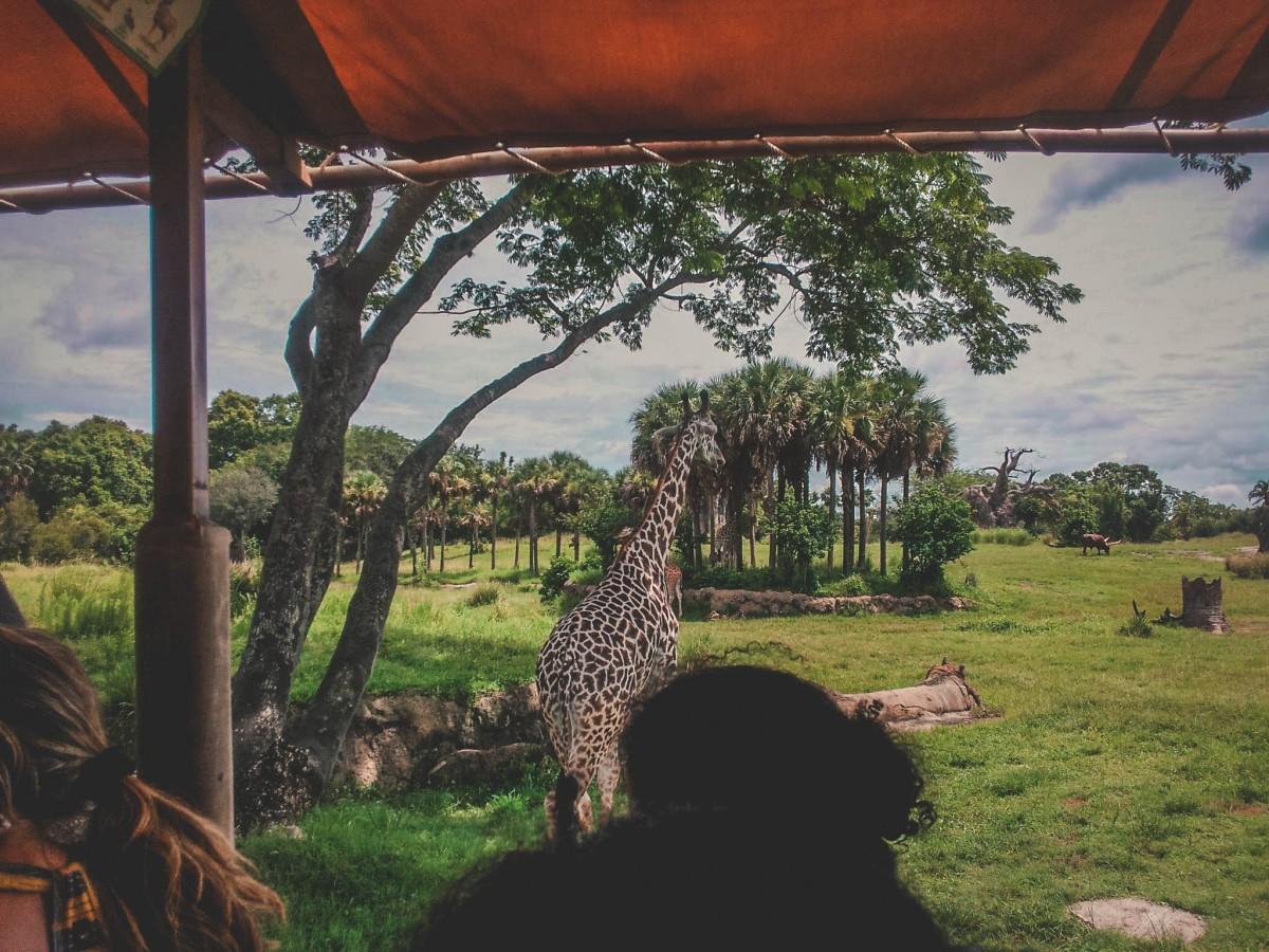 Giraffe seen from Kilimanjaro Safari, where to start your one day in Animal Kingdom