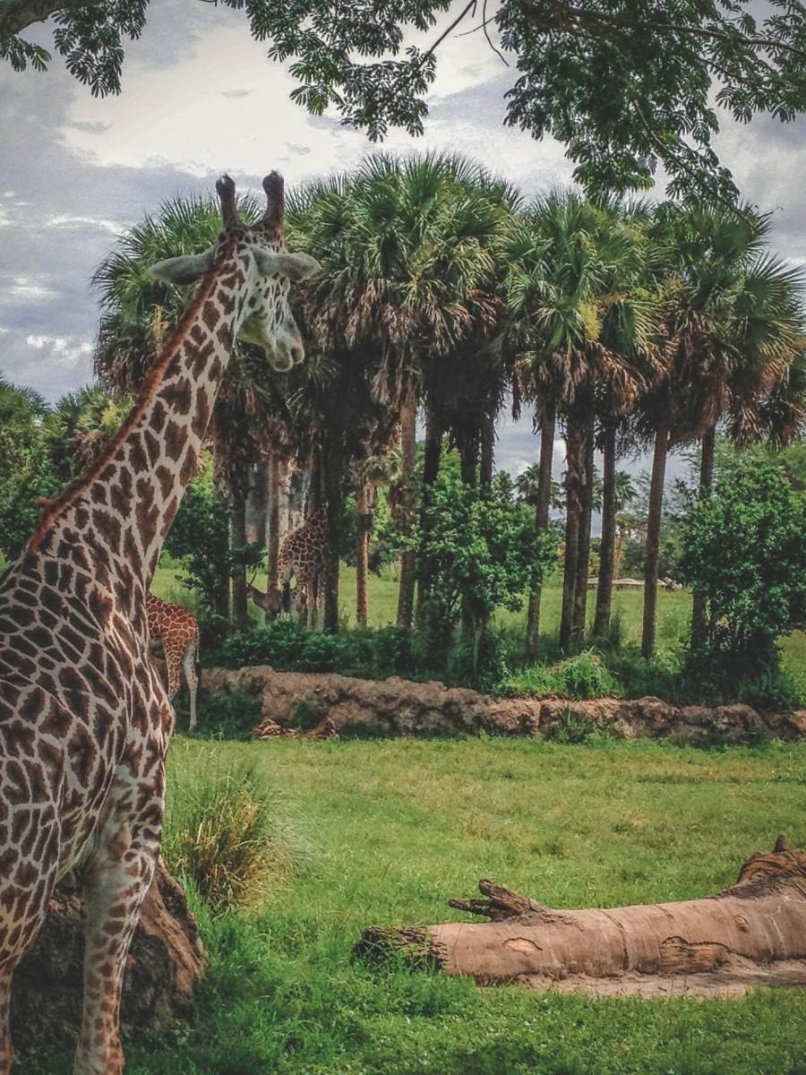 Giraffe spending one day in Animal Kingdom