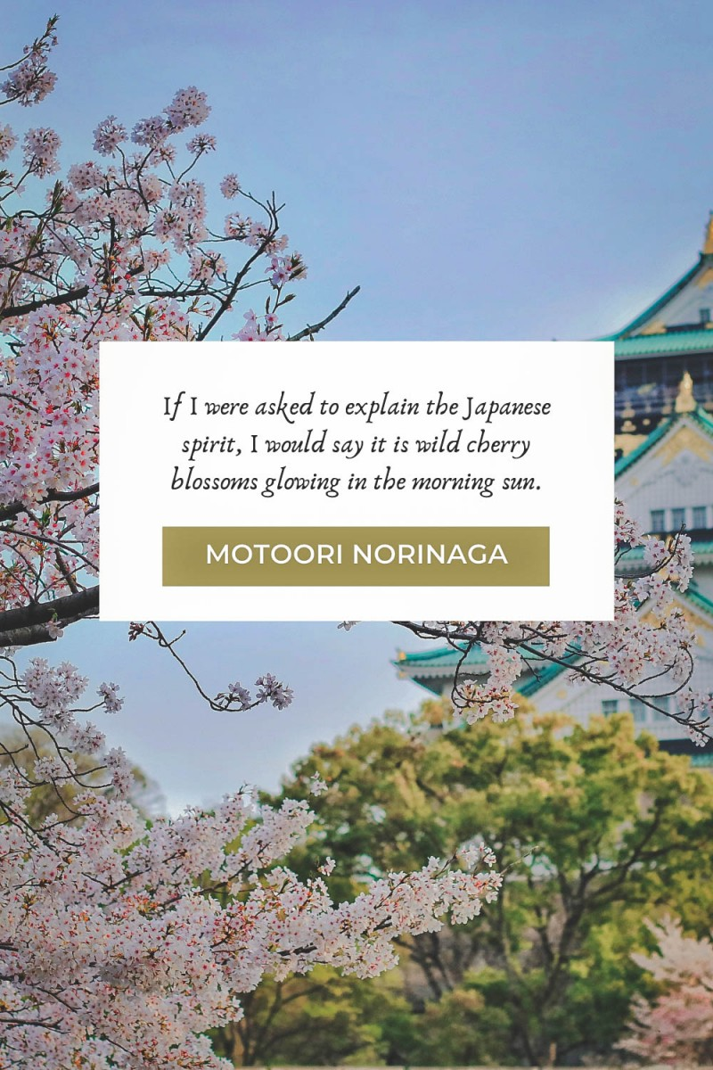 Cherry blossom quotes by Motoori Norinaga