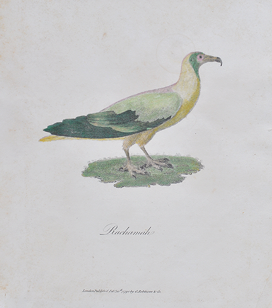 Rachamah or Egyptian Vulture 1790 Copperplate Engraving