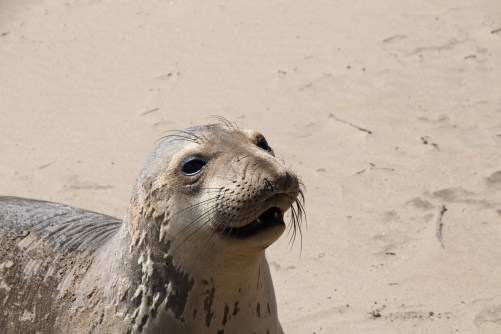 Laughing Juvenile Elephant Seal