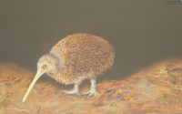 Judy Hollinshead - Kiwi feeding