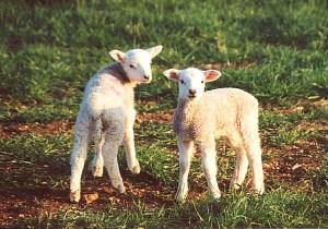 photo_lambs