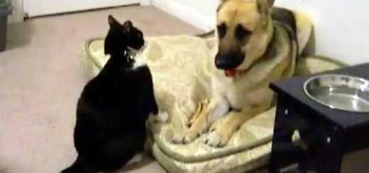 gato ataca pastor alemao