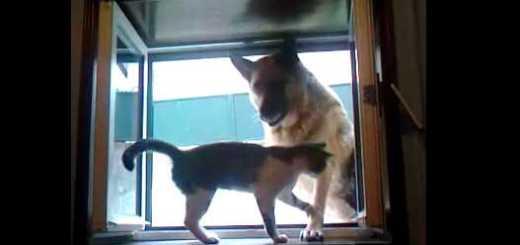gato contra pastor alemao