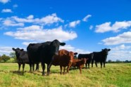 Purina starter cattle feeds at Pasturas Los Alazanes.