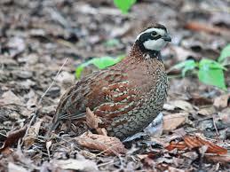 quail.jpeg