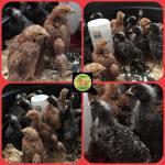 chicks barred rock
